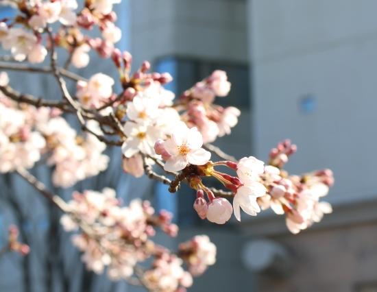 桜の咲く頃1年生